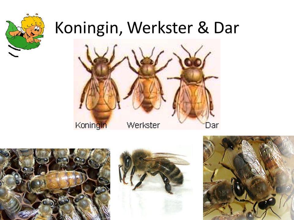 Verdeliet - Bijen Koningin+Werkster+Dar - foto 7 .jpg